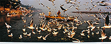 Delhi Businessmen feeding the Seagulls, Jamuna, Delhi - Raghu  Rai - 24-Hour Online Absolute Auction: Editions